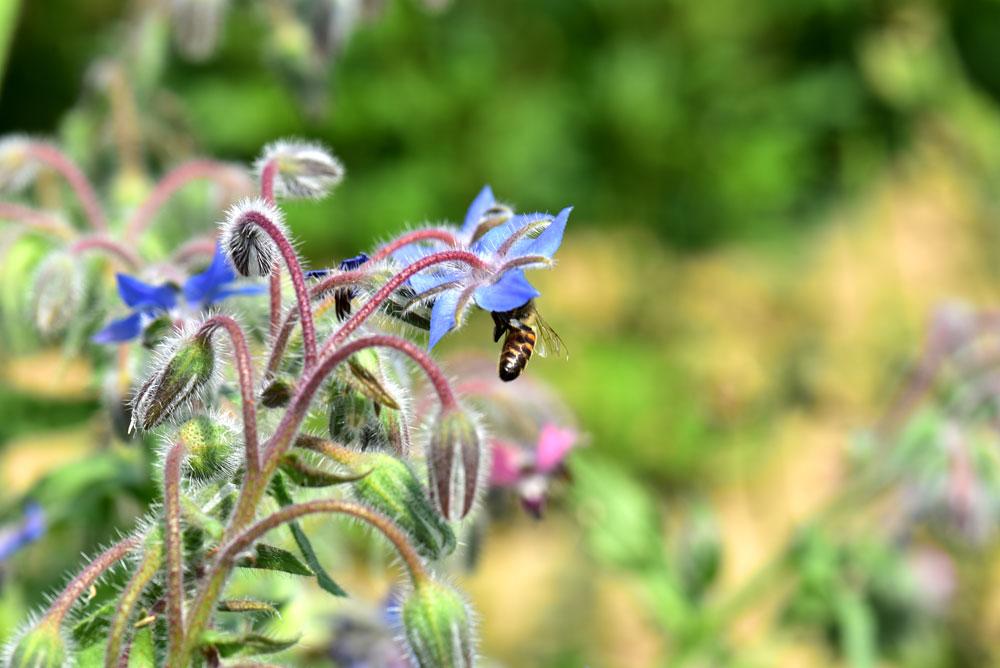 Bienenbluete